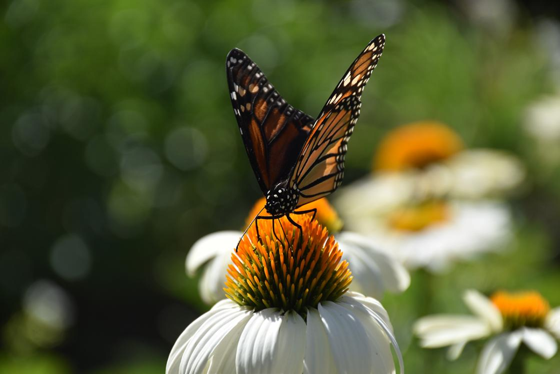 Photograph of a butterfly at Cranbrook House & Gardens.