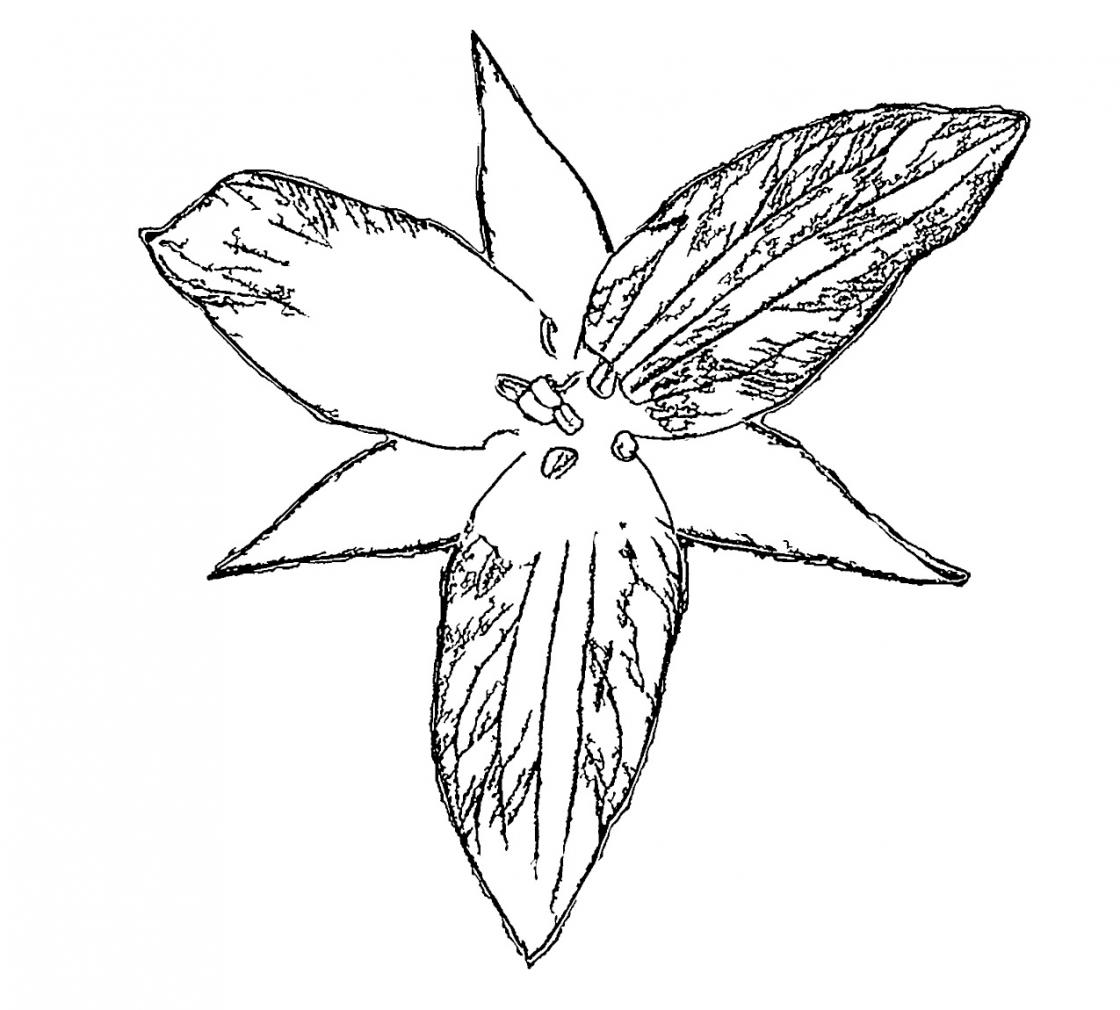 Cranbrook House & Gardens Red Trillium Coloring Page