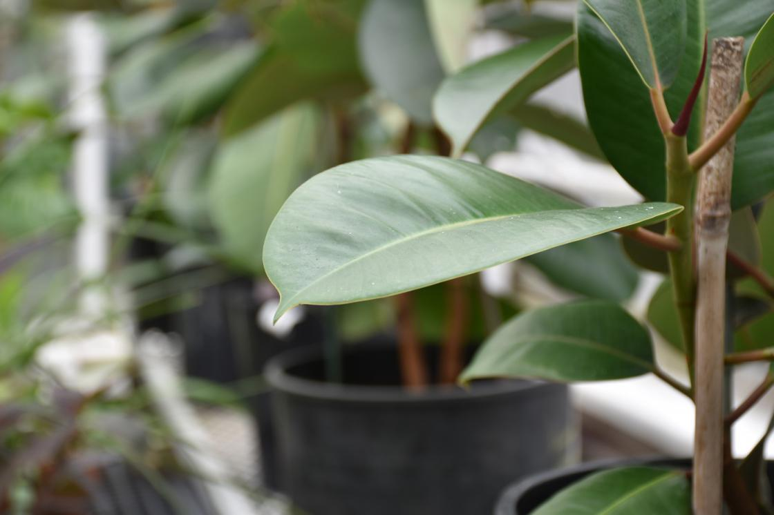 Photograph of a rubber tree plant