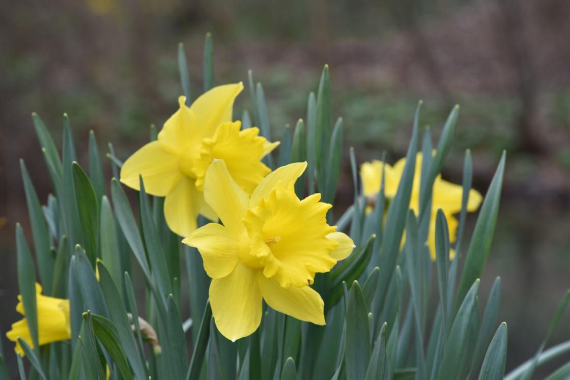 Photograph of daffodils at Cranbrook House & Gardens, April 2019.