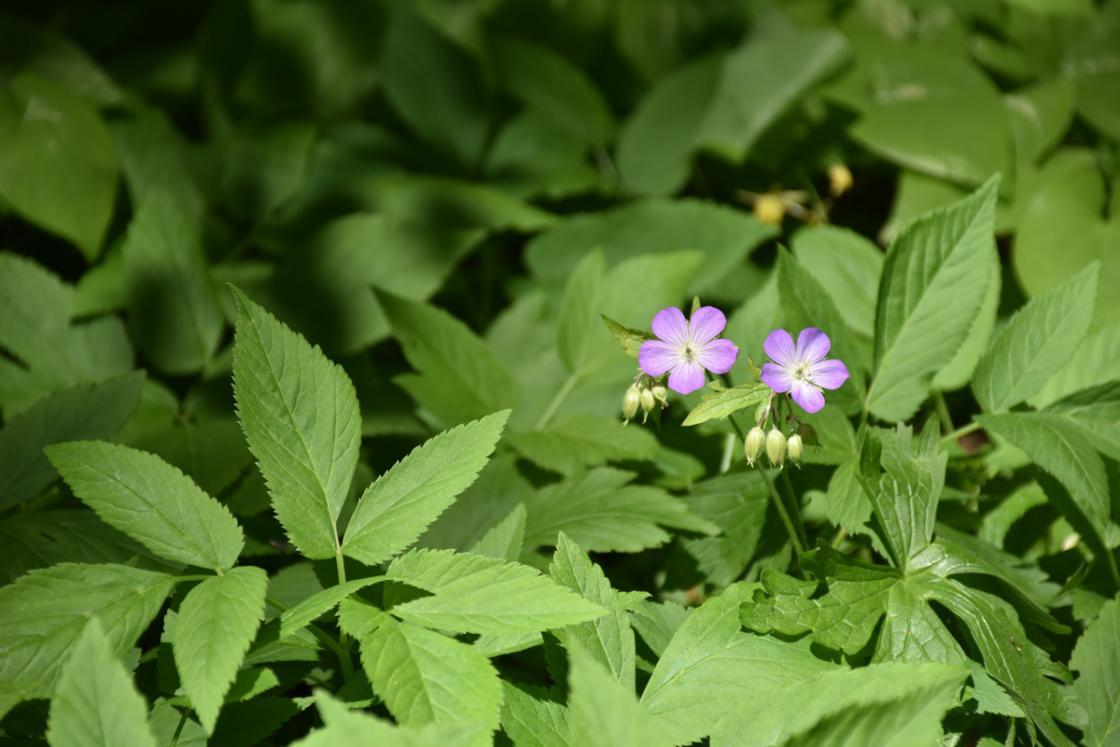 Photograph of Wild Geranium in the Native Plant Wildflower Garden at Cranbrook House & Gardens, May 2020.