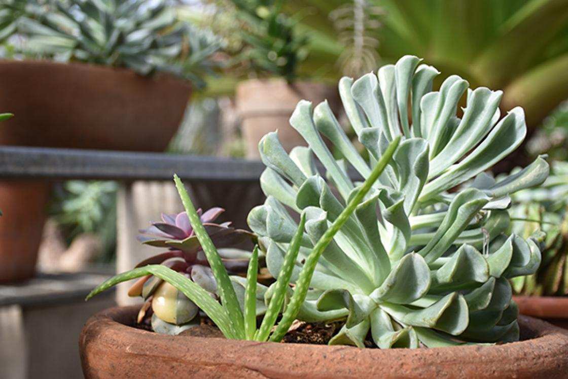 Photograph of a pot of succulents in the Conservatory Greenhouse at Cranbrook House & Gardens, winter 2019.