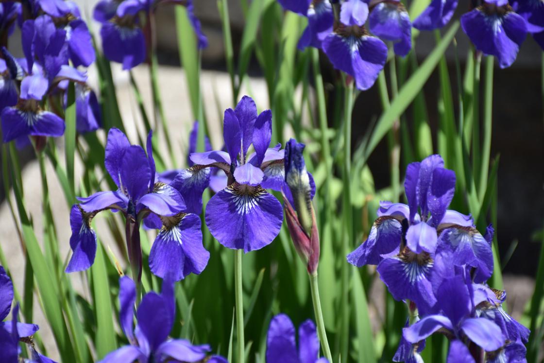 Photograph of Siberian Iris at Cranbrook House & Gardens, May 2020.