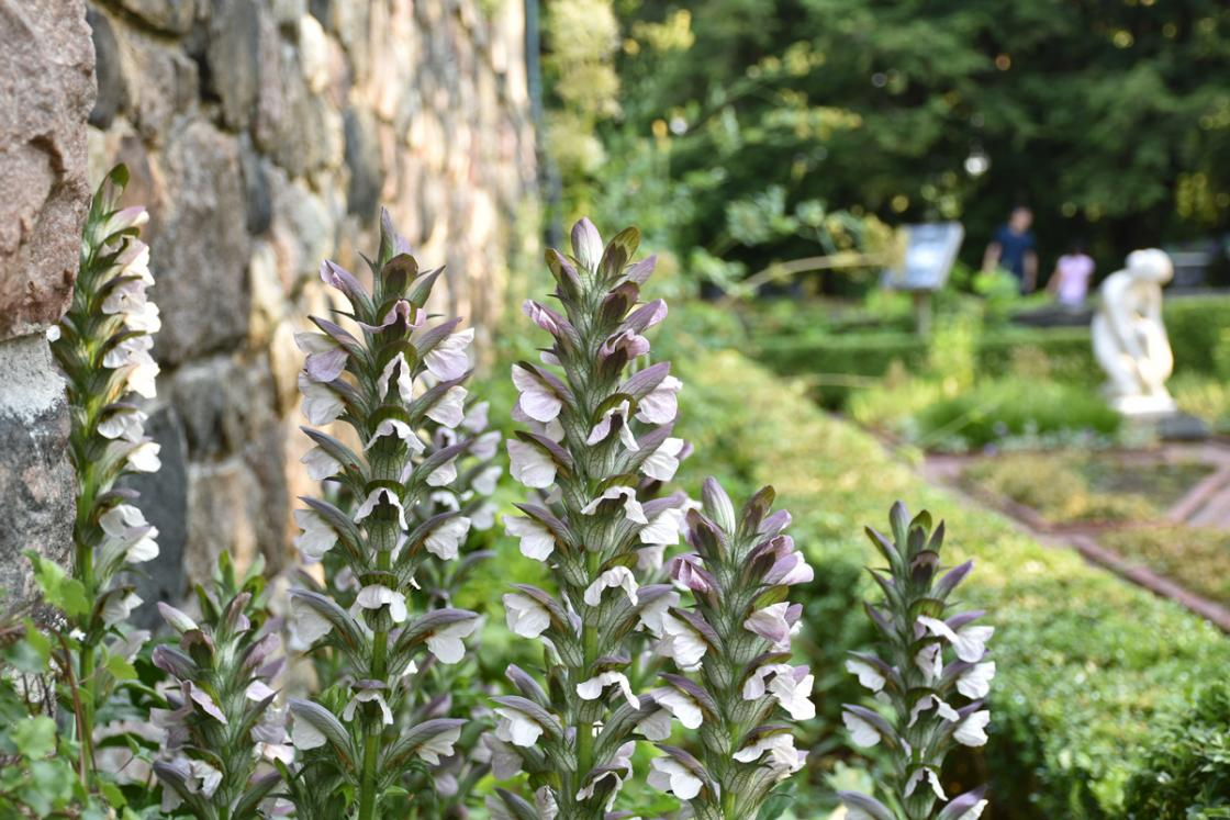 Photograph of bears breeches in the Herb Garden at Cranbrook House & Gardens, July 2020.