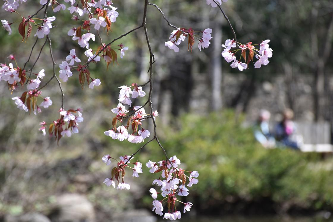 Cherry Blossoms in the Japanese Garden at Cranbrook House & Gardens. Photography by Eric Franchy.