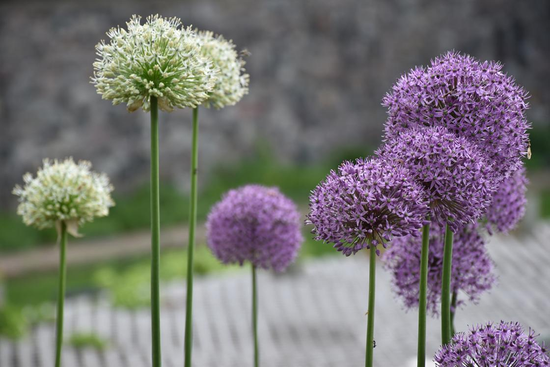 Allium at Cranbrook Gardens. Photograph taken May 2019 by Eric Franchy.