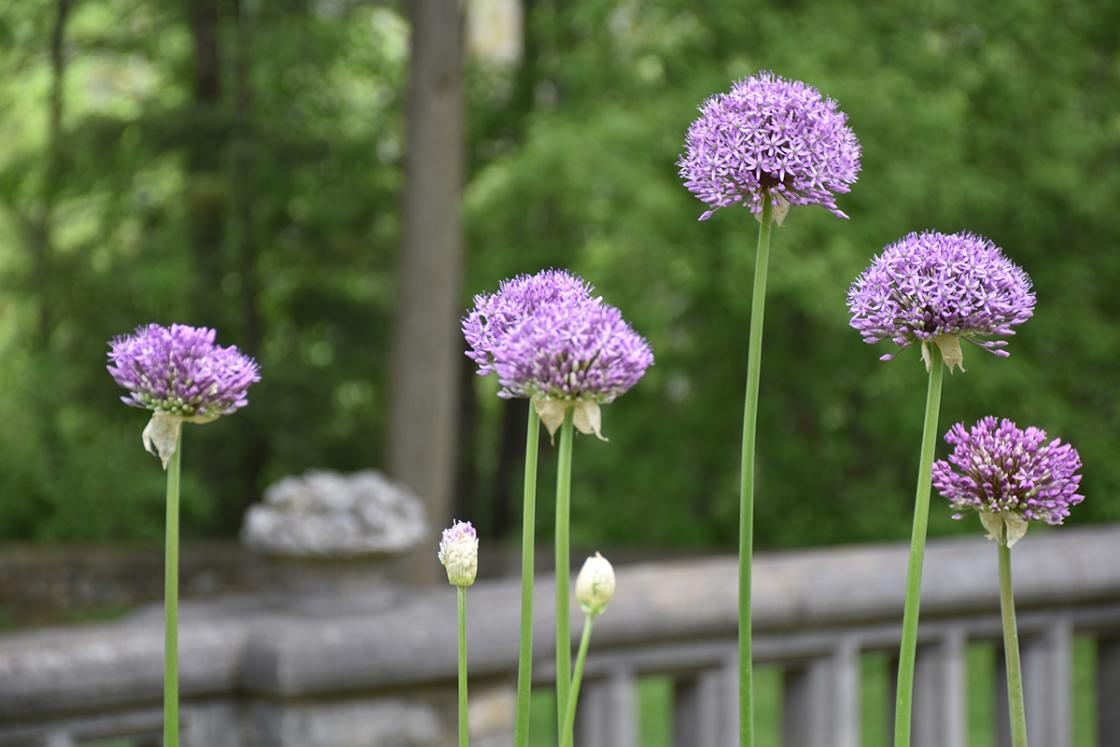 Allium in the Library Garden at Cranbrook Gardens. Photograph taken Tuesday, May 28, 2019.