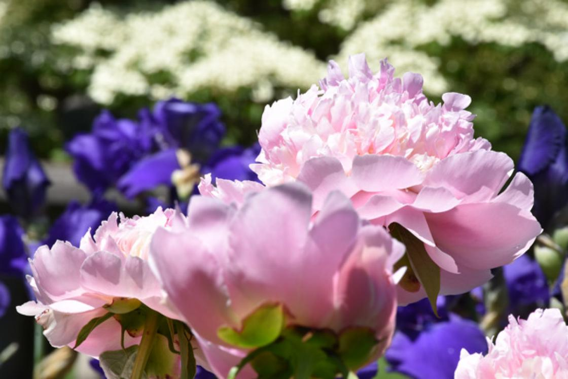 Photograph of a peony on the Library Terrace at Cranbrook House & Gardens, 2019.