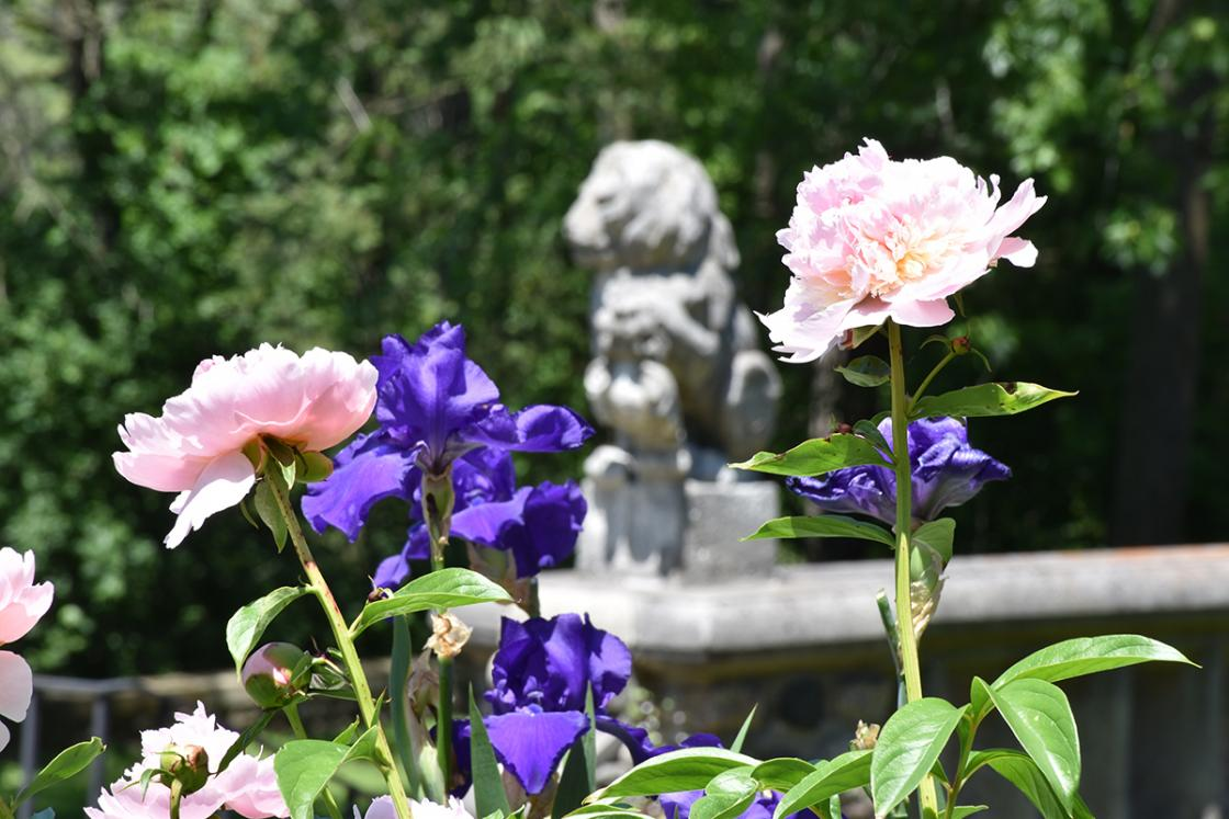 Peonies at Cranbrook House & Gardens. Photography by Eric Franchy.