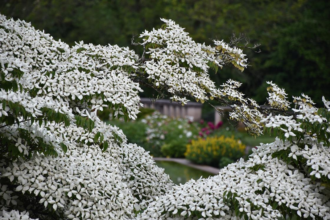 Cornus kousa (common name: kousa dogwood) at Cranbrook House & Gardens, June 2019. Photograph by Eric Franchy.