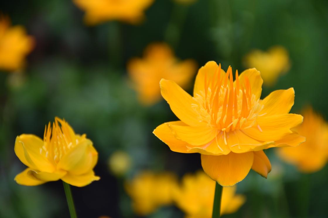 Trollius (globe flower) by the Reflecting Pool at Cranbrook House & Gardens, June 20, 2019.