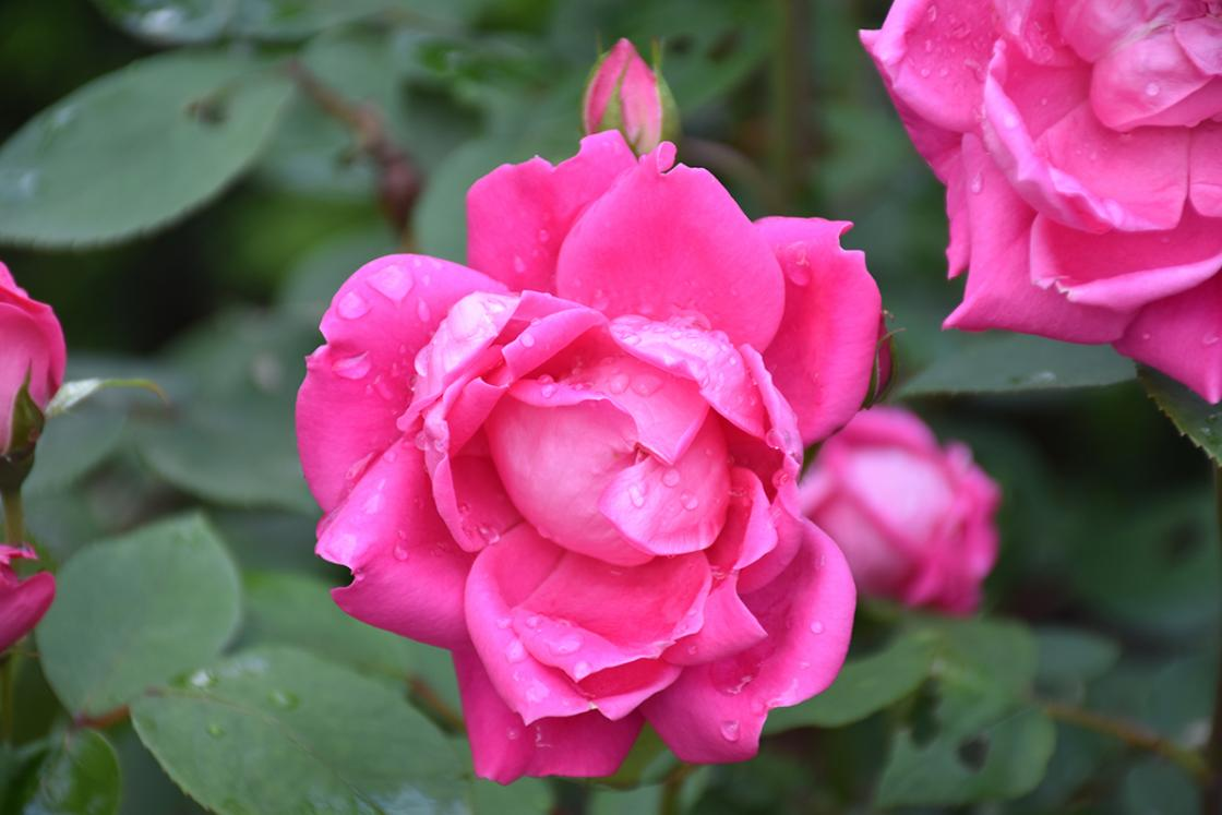 Roses in the Cranbrook House Courtyard Garden. Photograph taken Thursday, June 20, 2019.