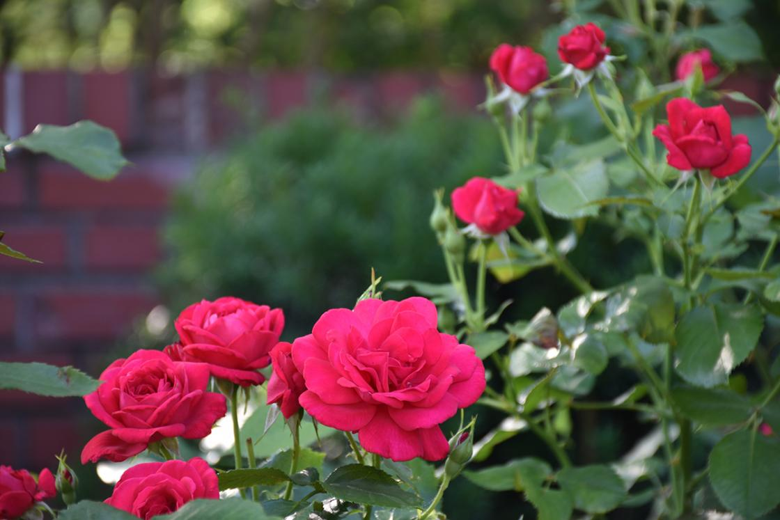 Roses in the Cranbrook House Courtyard Garden. Photograph taken Saturday, June 29, 2019.