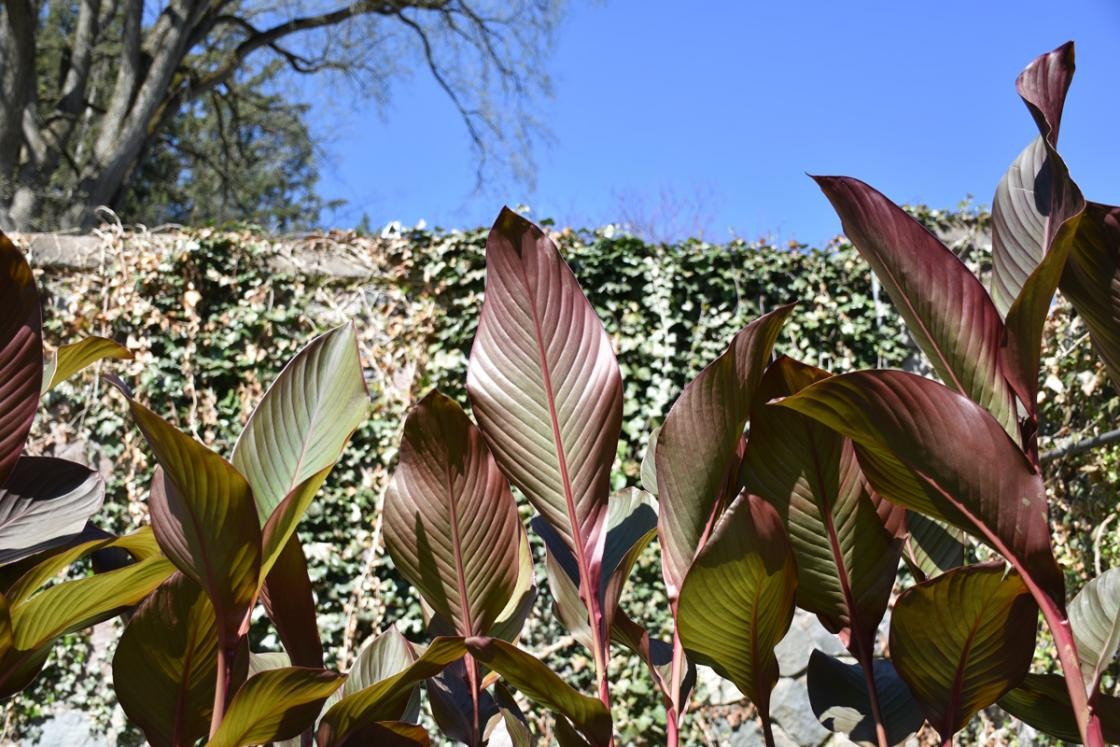 Photograph of cannas at Cranbrook House & Gardens.
