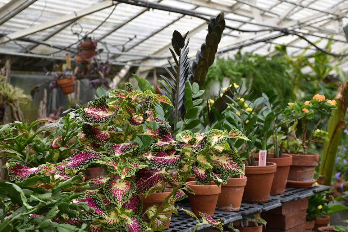 Photograph of houseplants in the Conservatory Greenhouse.