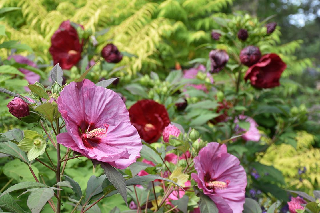 Photograph of hibiscus in the Sundial Garden at Cranbrook House & Gardens, August 2019.