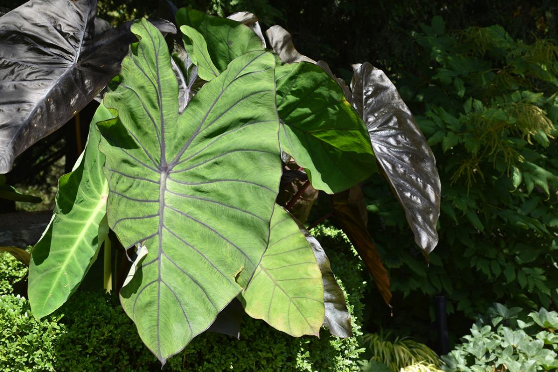 Colocasia (elephant ears) in the Texture Garden at Cranbrook House & Gardens, August 2019.