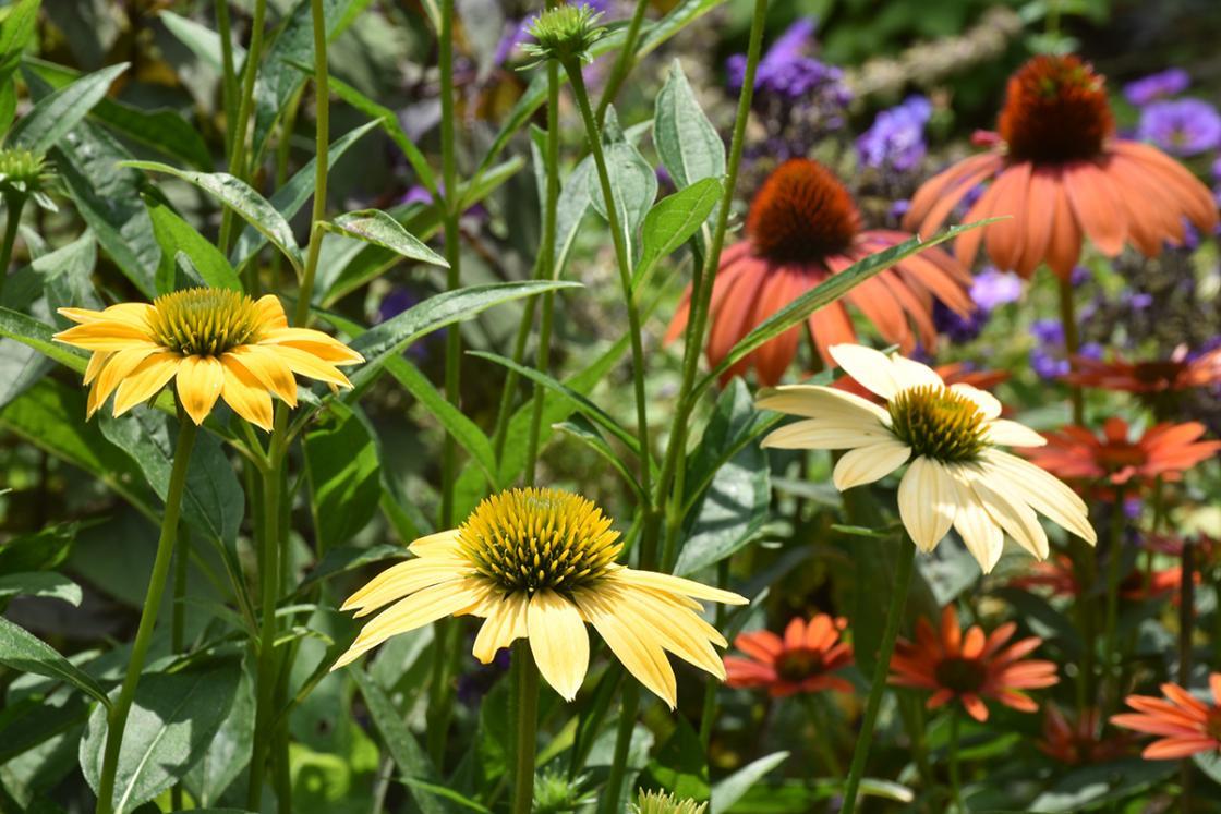 Cranbrook House & Gardens Herb Garden 2018 - Flower Closeup