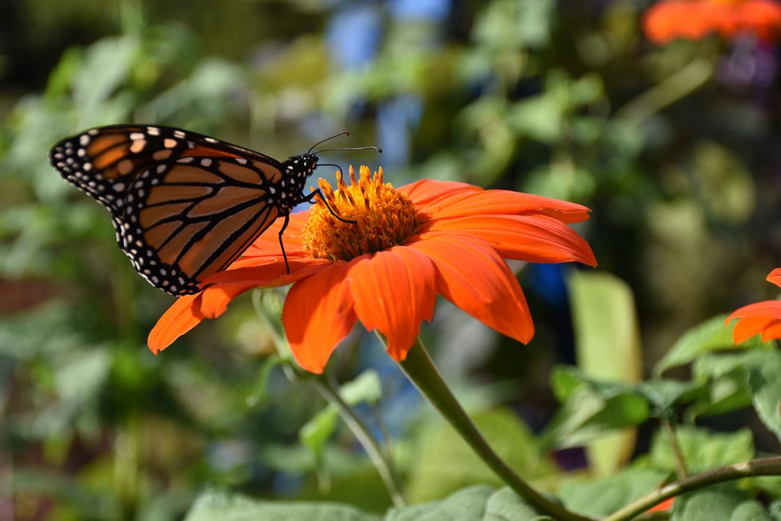 Photograph of a monarch butterfly on a Mexican flame vine in the Butterfly Garden at Cranbrook House & Gardens, August 2019.
