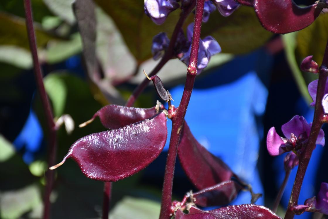 Photograph of hyacinth bean in the Sunken Garden at Cranbrook House & Gardens, September 2019.