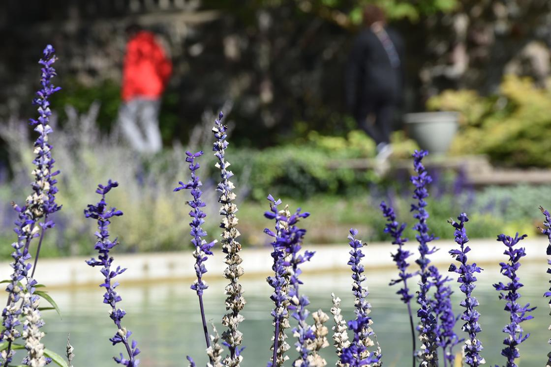 Photograph of Russian sage by the Reflecting Pool at Cranbrook House & Gardens, October 2019.