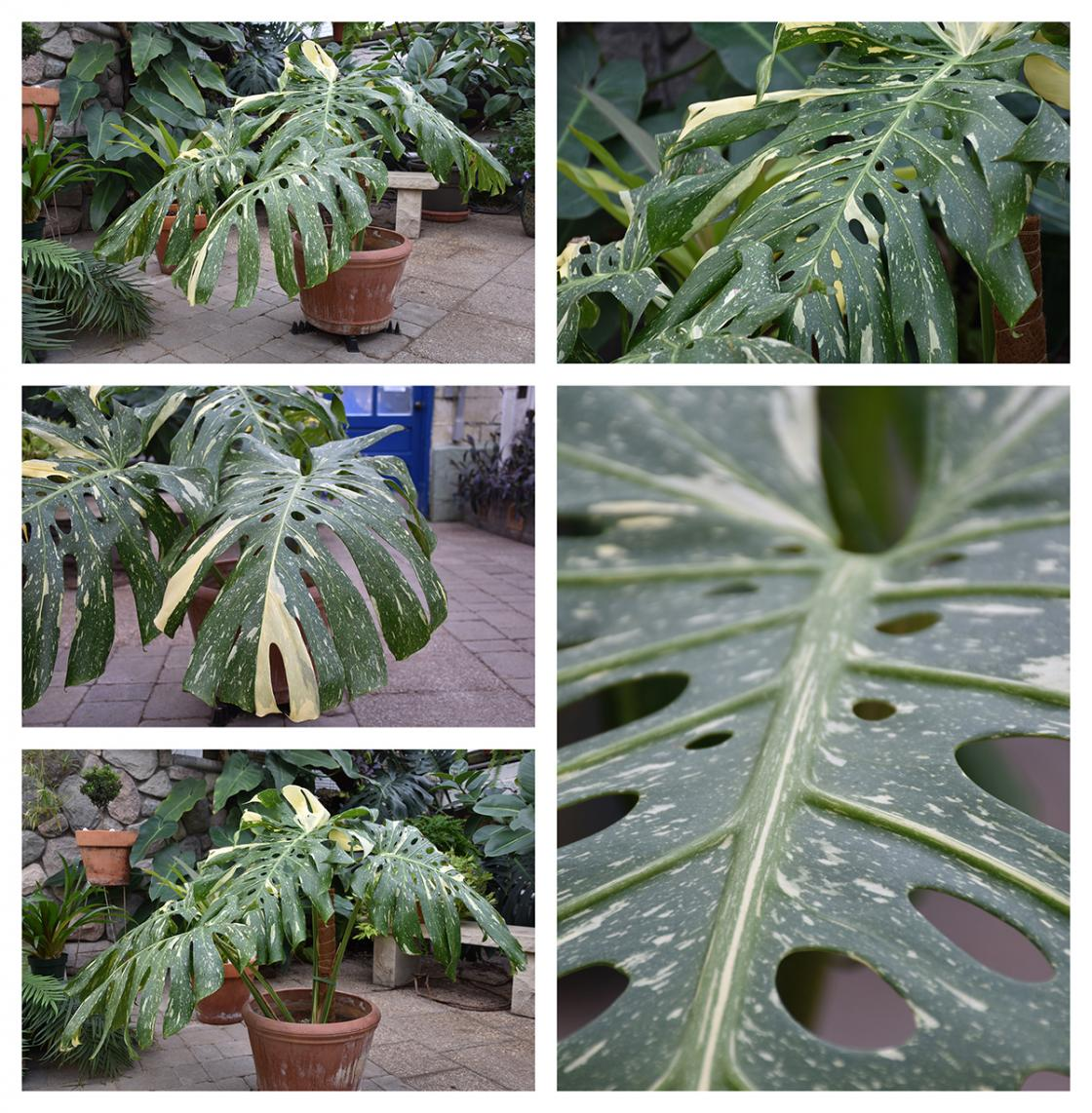 Collage of Monstera Thai Constellation photos taken in the Conservatory Greenhouse.
